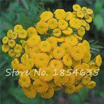 Tanaisie Graines Asteraceae Fleur Jaune Bureau Interieur
