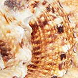 Juvale Large Natural Conch Sea Shell