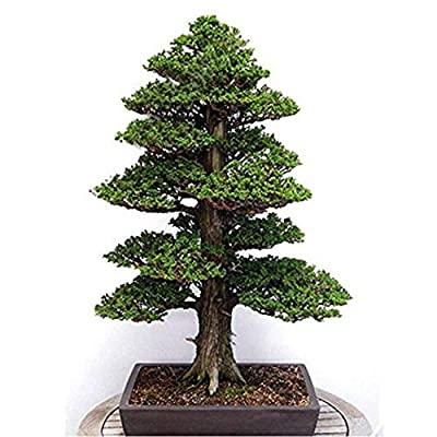 Caiuet Seed,30Pcs/Packe Mini Pine Tree Seeds Beautiful Ornamental Plant Seed Perennial Bonsai Plant Seeds for Home Garden Planting