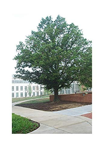 (Quercus Laurifolia Laurel Oak Tree 5 Rooted Seedlings)