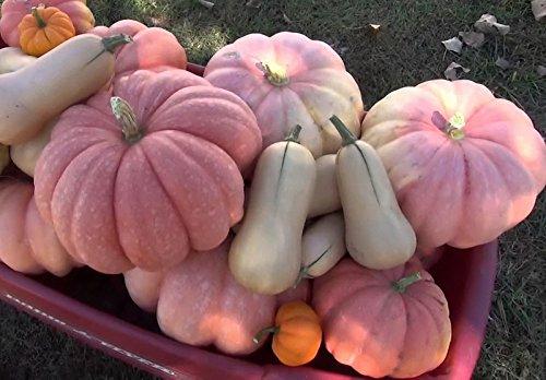 PINK PUMPKIN MORANGA de MESA   ULTRA (Pink Pumpkin)