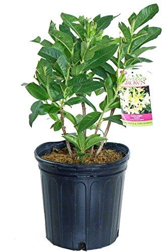 Azalea Hybrid - Azalea 'Lemon Lights' (Exbury hybrid) Shrub, yellow flowers, #2 - Size Container