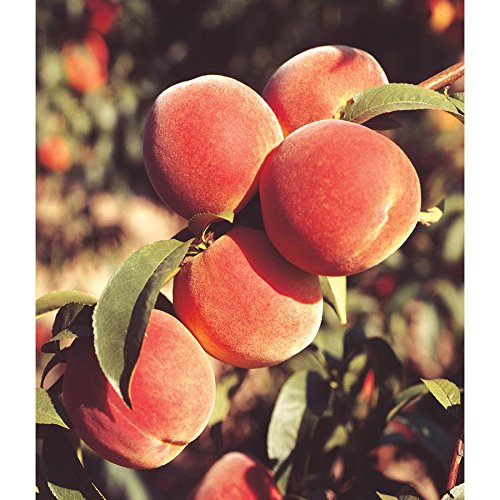 June Gold Peach Tree - Prunus persica 'June Gold' - Hardy - Healthy - Established - One Gallon Trade Potted - 1 Each by Growers Solution -