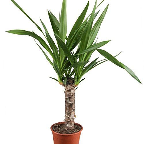Yucca, 11cm Topf, 30 - 50 cm