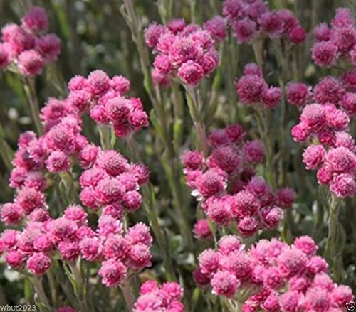 200 Pink Pussytoes Seeds - Antennaria