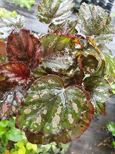 Live Plant 4 Inch Pot Begonia Harmony's Cherry Bomb Shrubs Plant ANT-NR