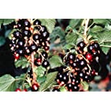 "Consort Black Currant Bush - Great for Wine Making! - 2.5"" Pot"