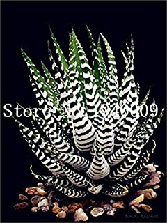 Pinkdose 100 Pz Colore Raro Pianta Aloe Bonsai Pianta Cactus Succulenta Piante Erbe Piante in Vaso Mini Giardino e Balcone Piante: 13