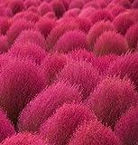 HEIRLOOM NON GMO Kochia Scoparia Grass 100 Seeds