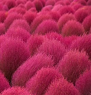 Amazon.com : 50 BURNING BUSH Kochia Scoparia Shrub Seeds : Shrub ...