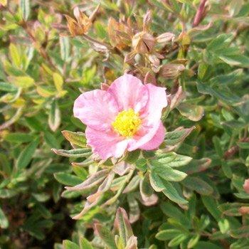 50 Stk. Potentilla fruticosa 'Princess' - (Fingerstrauch 'Princess')- Topfware 20 - 30 cm