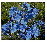 David's Garden Seeds Flower Cynoglossum Chinese Forget Me Not SL1931 (Blue) 200 Non-GMO, Open Pollinated Seeds