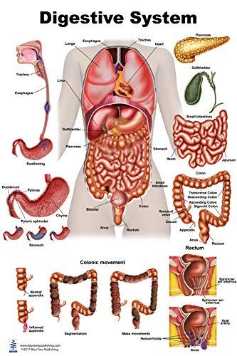 Digestive (12x17)