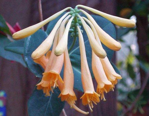 native-honeysuckle-john-clayton-lonicera-sempervirens