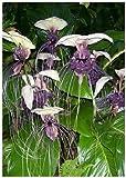 Tropica - Weiße Fledermausblume (Tacca integrifolia) - 15 Samen