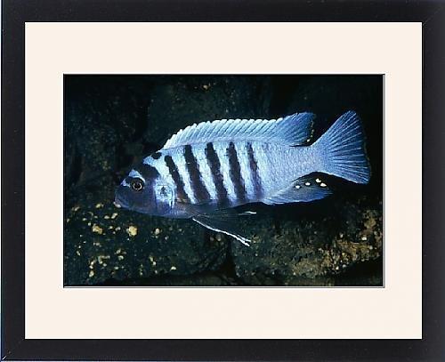 lake malawi cichlids poster