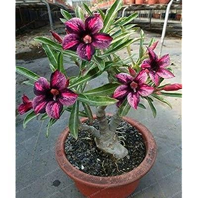 Seed - NOT Plant - Best Quality - Bonsai - PCS Rare Brown Black Desert Rose Bonsai Balcony Bonsai Ornamental Flowers Adenium obesum Bonsai Absorption of Formaldehyde - by SeedWorld - 1 PCs: Garden & Outdoor