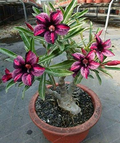Seed - NOT Plant - Best Quality - Bonsai - PCS Rare Brown Black Desert Rose Bonsai Balcony Bonsai Ornamental Flowers Adenium obesum Bonsai Absorption of Formaldehyde - by SeedWorld ()