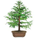 Brussel's Live Dawn Redwood Outdoor Bonsai Tree - 8 Years Old; 22'' to 28'' Tall with Decorative Container