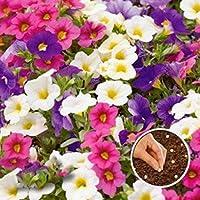 Dreamall Seeds 10/30/50/100 pcs Calibrachoa Kabloom Seeds Home Garden Flowers Flowers