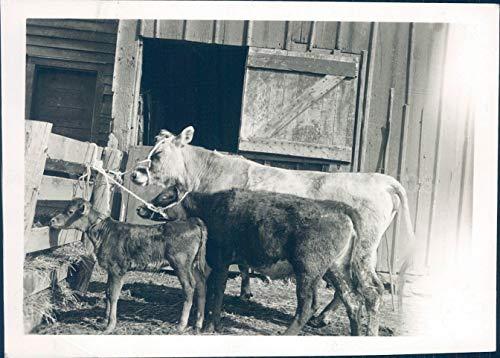 1941 Photo WW2 Era Jersey Cow Calves Stralow Morrison Farmer Animals Vintage