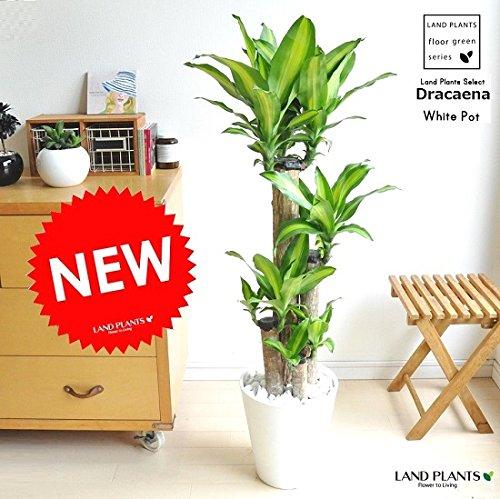 LAND PLANTS 幸福の木 マッサンゲアナ 白セラアート鉢 BLACK B06XCBJGDW Black Black