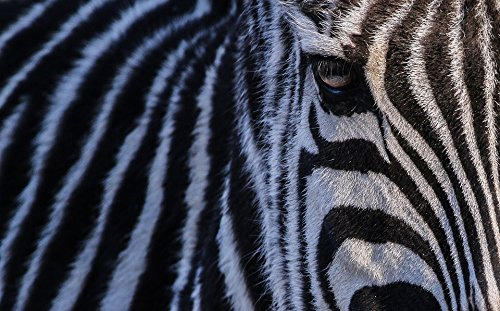 Home Comforts Print on Metal Nature Zebra Head Africa for sale  Delivered anywhere in USA