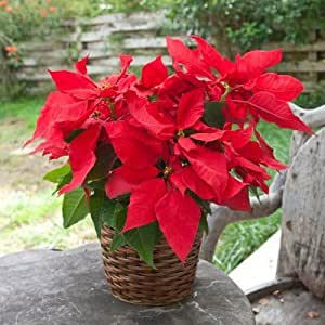 Large Red Poinsettia in Stained Rattan Basket- Beautiful Blooming Live Plant Gift - Ships Express 2nd Day!