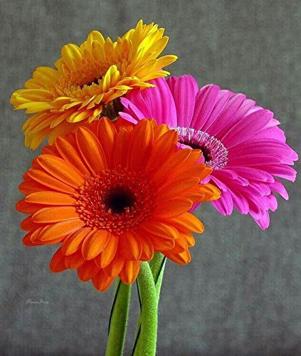 100 Pcs/bag Gerbera Daisy Seeds New Hybrids * Mixed...