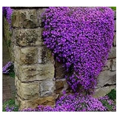 300 Aubrieta seeds Cascade Purple Flower Rock Cress seeds : Garden & Outdoor