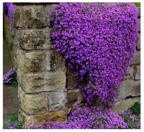 Aubrieta seeds Cascade Purple Flower Rock Cress seeds - Vine Seeds (300)