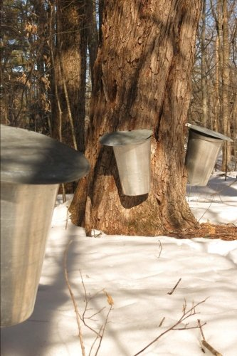 Silver Pails on Maple Trees in New England in the Spring Maple Syrup Journal: 150 Page Lined Notebook/Diary