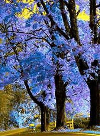Amazoncom Royal Empress Tree FOXGLOVE TREE PRINCESS TREE