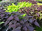 Ipomoea - Mix Colors Sweet Potato Vine - 8 Starter Plants