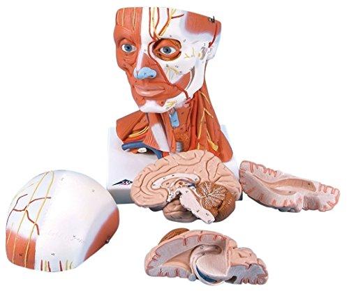 3B Scientific Head and Neck Musculature