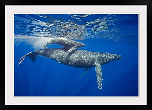 GreatBIGCanvas ''A mother and calf pair of humpback whales, Maui, Hawaii'' by Dave Fleetham Photographic Print with Black Frame, 36'' x 24'' by greatBIGcanvas