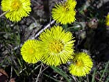 1 oz Seeds (Approx 56250 Seeds) of Tussilago farfara, Coltsfoot Flower
