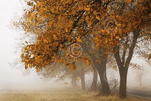 フォグin Fall David Lorenz Winston写真ツリー秋ポスター(選択サイズ、印刷またはキャンバス) 19x13 Print BM-W1688-2P 19x13 Print  B00U4CD3O4