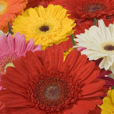Wholesale Gerberas (150 Assorted) by eFlowy (Image #4)