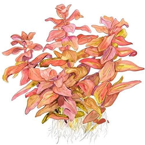 Tropica Rotala macrandra Live Aquarium Plant - In Vitro Tissue Culture 1-2-Grow!