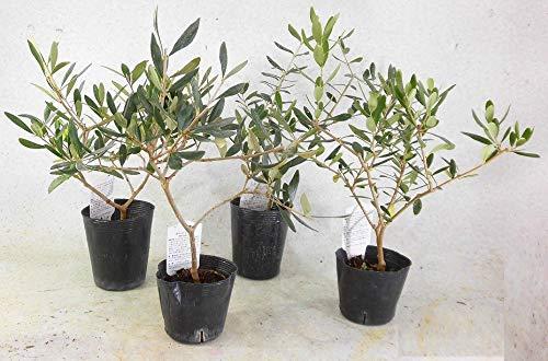 オリーブの苗木人気ランキング