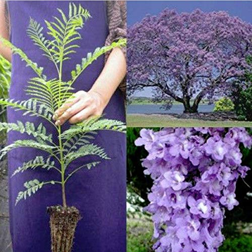 - Hot Sale! Jacaranda Brazilian Rose Tree Live Plant Mimosifolia Purple Flowering Outdoor
