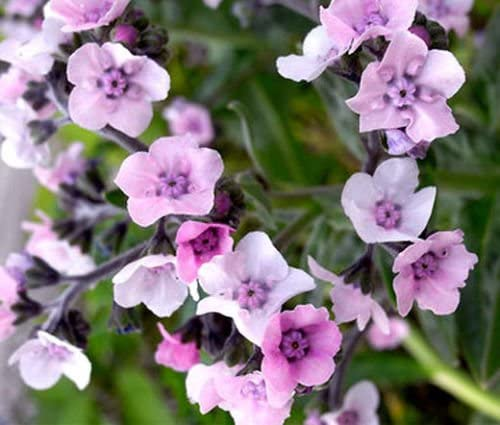 Pink- Cynoglossum Amabile Chinese Forget-Me-Not - 100 seeds