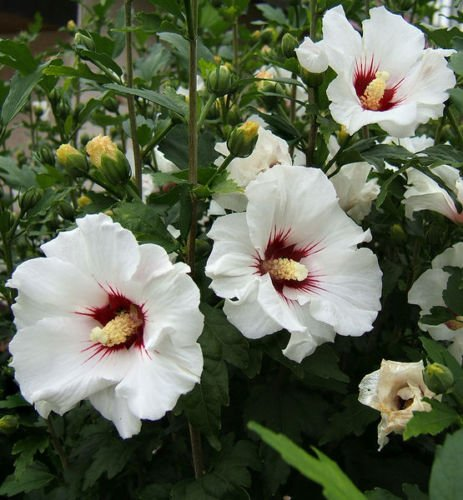 ROSE of SHARON ~White w/Red Heart~