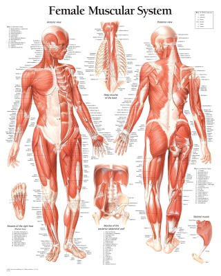 (22x28) Laminated Muscular System Female Educational Chart Poster