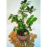 TROPICA - Peanut Plant (Arachis hypogaea) - 8 Seeds - Useful Plants