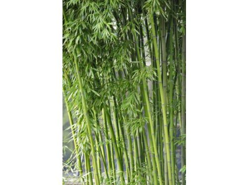 100x Fresh Bamboo Seeds w/ Instructions (Fargesia / Borinda Yunnanensis)