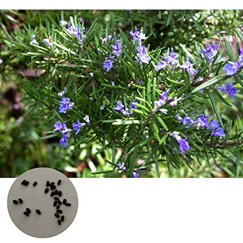 (500 Pieces Rosemary Herb Plant Seeds Potted Plant Seeds DIY Garden Plant Vegetable Seeds)
