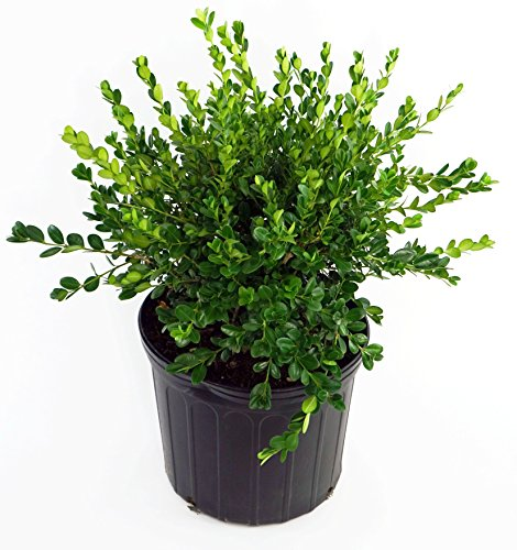 Buxus micro. 'Winter Gem' (Boxwood) Evergreen, shiny green foliage, #3 - Size Container