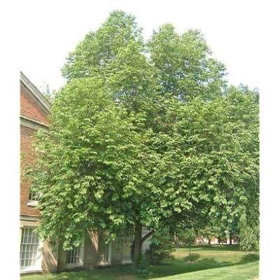 50 Carolina Silverbell Tree Seeds, Halesia Carolina : Garden & Outdoor